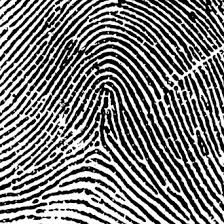 arch tented arch  sc 1 st  Bird Personality Test & Fingerprint Patterns